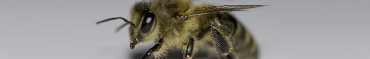 Une abeille en Hiver
