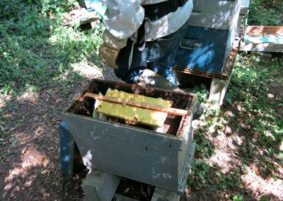 La ruchette est laissée ouverte pour faciliter le pillage du miel resté dans les alvéoles